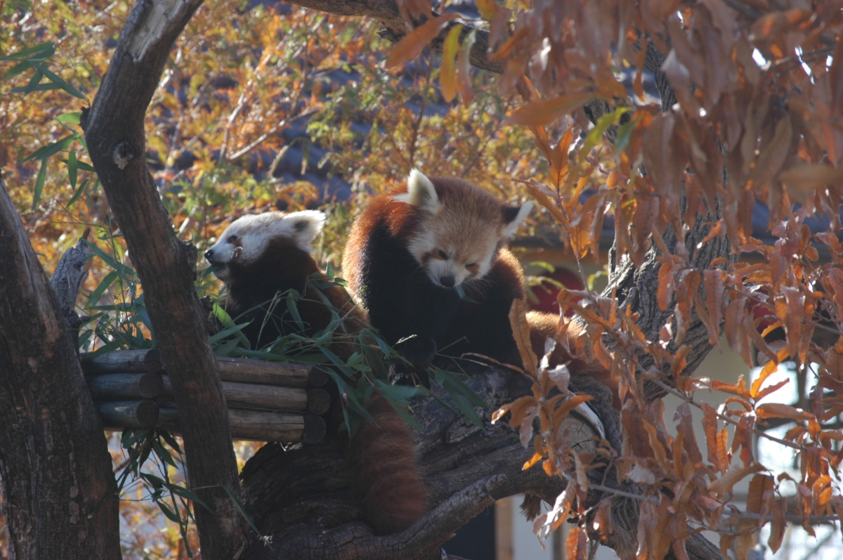 Mom and baby red pandas chilling at the Sedgwick County Zoo, Wichita, KS