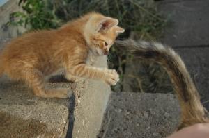 Typo as a kitten swatting at Gremlin's tail, Haven, KS