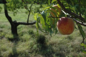 Ripe peach on the tree, Entz Orchard, Newton, KS