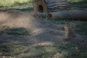 Prairie dog outside his hole at the Sedgwick County Zoo, Wichita, KS