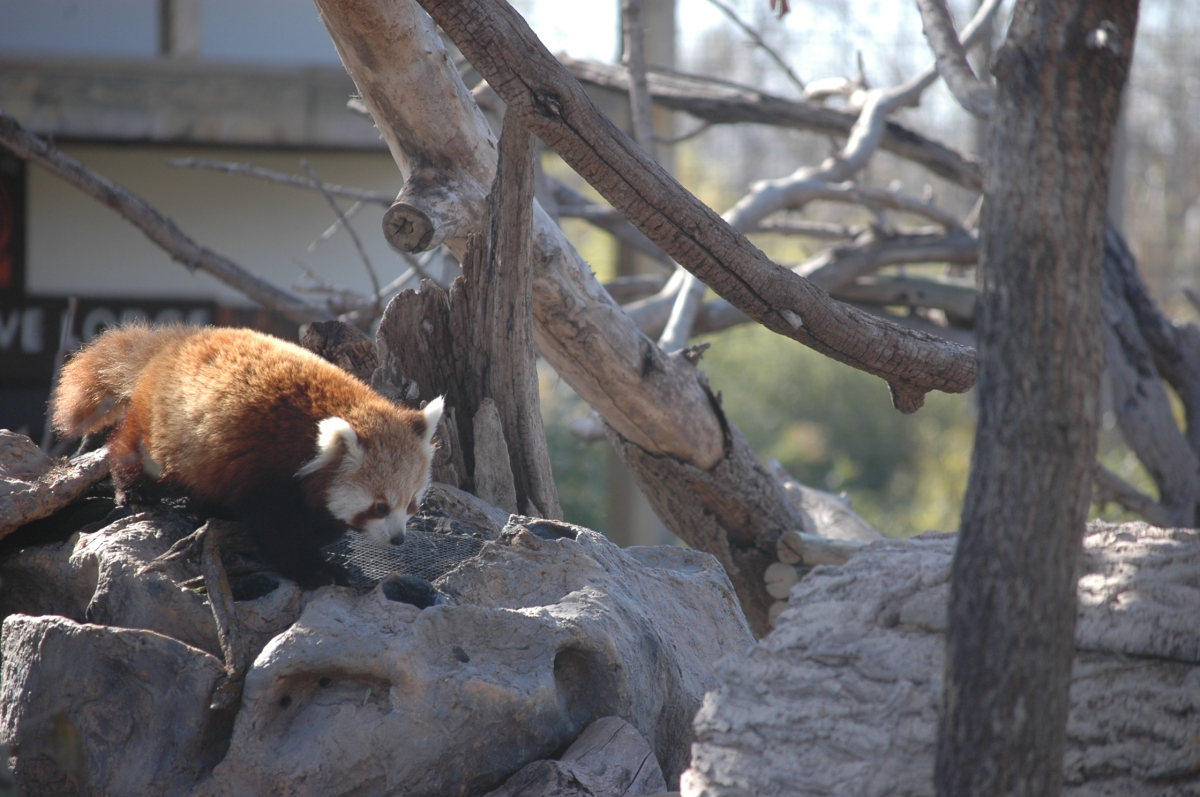 Baby red panda forging his own trail at the Sedgwick County Zoo, Wichita, KS