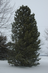 Evergreen tree in the snow at Safe Haven Farm, Haven, KS