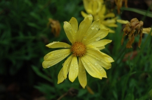 Bright yellow flower at the Dallas Arboretum, Dallas, TX