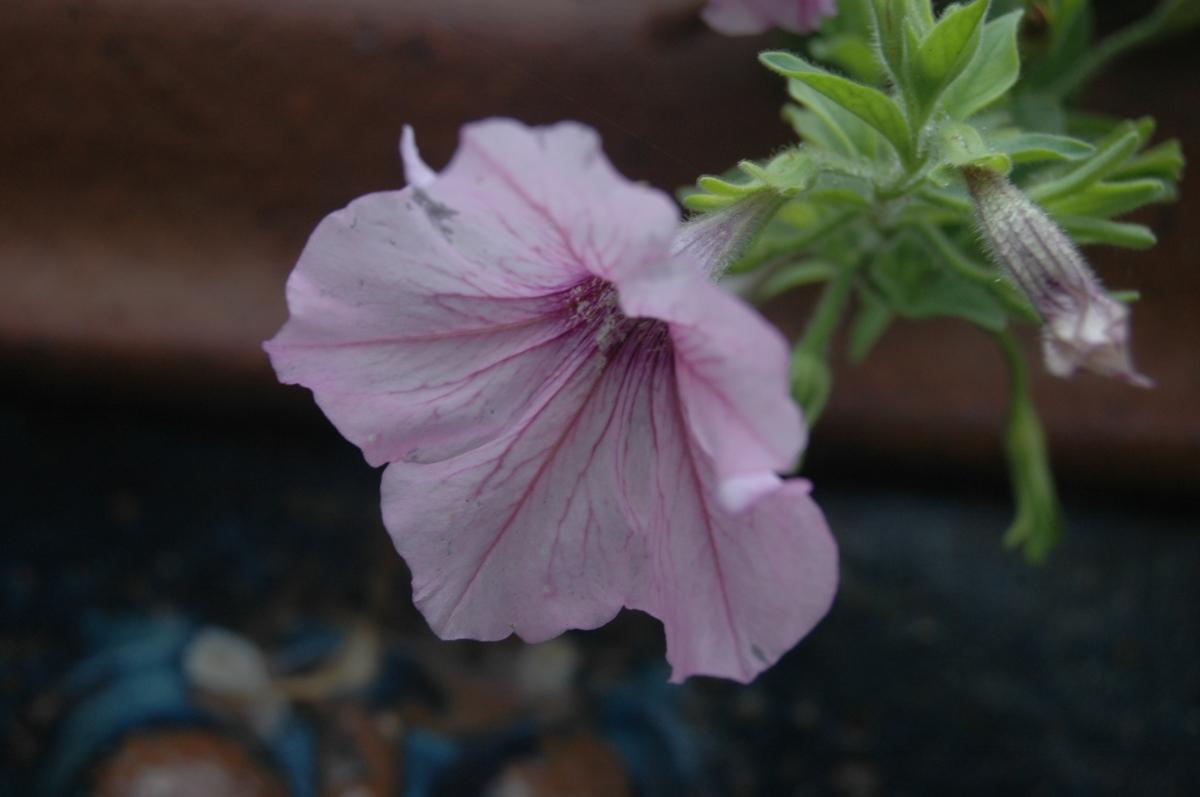 Pretty purple trumpet flower at the Dallas Arboretum, Dallas, TX
