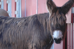 Shaggy donkey at the Sedgwick County Zoo, Wichita, KS