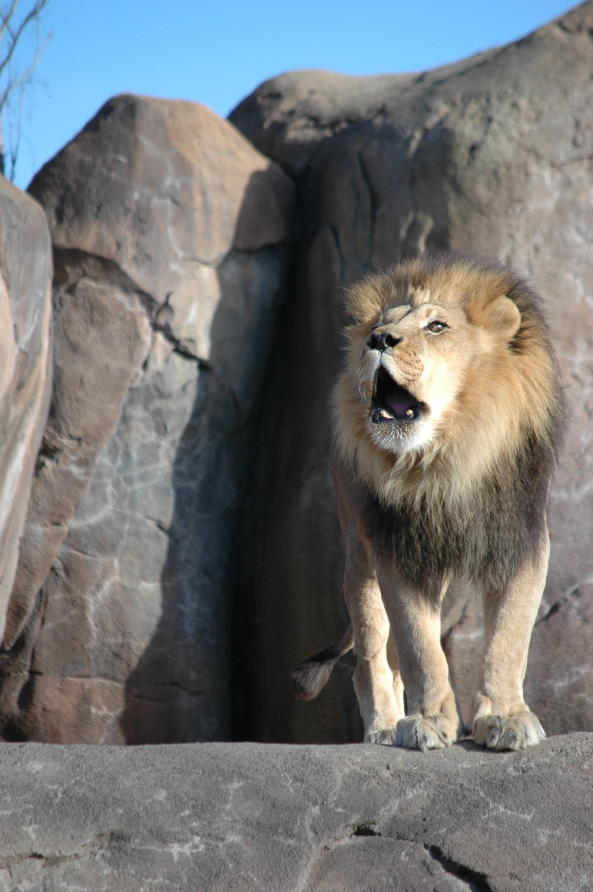 Roaring lion at the Sedgwick County Zoo, Wichita, KS