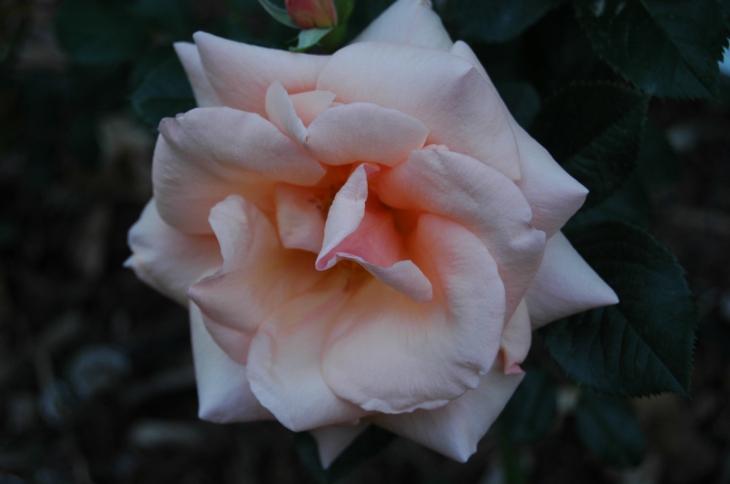 A beautiful rose in the Rose Garden at Glen Eyrie, Colorado Springs, CO