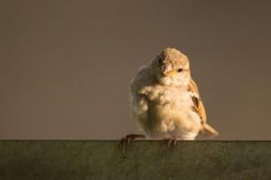 bird-sparrow