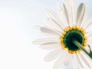 daisy-toward-sky