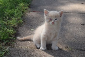 Jethro, one of the new kittens at Safe Haven Farm, Haven, KS