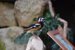Really loud bird singing his heart out at the Tropics exhibit (Sedgwick County Zoo, Wichita, KS)
