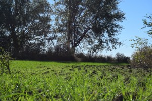 New wheat sprouting in the southeast pasture at Safe Haven Farm, Haven, KS