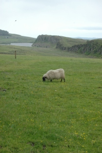 Happy Scottish sheep grazing on the green grass near Hadrian's Wall in Northern England