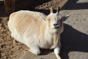 A goat chilling in the rare December sun at the African Farm exhibit at the Sedgwick County Zoo, Wichita, KS